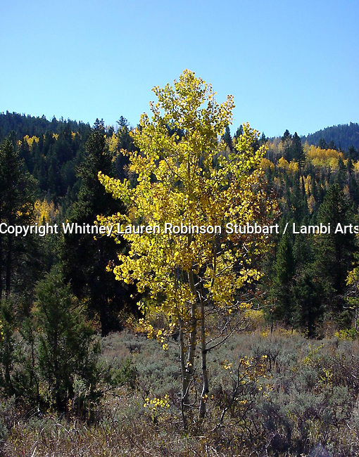Flora and Fauna botanical photography Trees, Spring, Winter, Summer, Fall, Pine, Aspen, palm, tropical, mountain, night, day, shadow, sunset, snow Joshua, baby, adult, trunk,