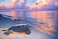 green sea turtle, Chelonia mydas, female, crawling back to sea at dawn after nesting on beach, endangered species, Sipadan Island, Borneo, Malaysia, Pacific Ocean