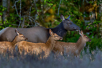 Roosevelt Elk (Cervus elaphus roosevelti) cow and calves in Olympic National Park temperate rain forest, WA.  May.  Elk cows seldom have more than one calf.  This cow is part of a herd and likely only one of the calves is hers.