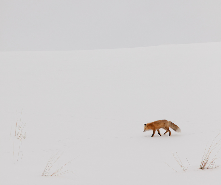A red fox finds its way along a snow-covered hillside in Yellowstone National Park.