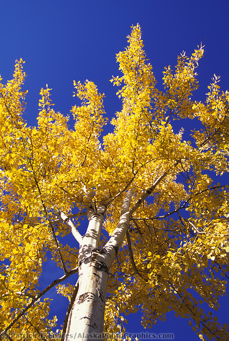 Birch tree in autumn gold at the University of Alaska plaza, Fairbanks, Alaska.