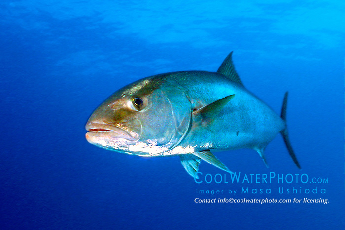 greater amberjack, .Seriola dumerili, .Shark Junction, Freeport, .Grand Bahama, Bahamas (Atlantic)
