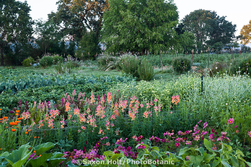 No-till flower farming with rows of organic vegetables, Singing Frogs Farm, Sebstopol, California