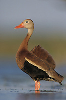 Black-bellied Whistling-Duck, Dendrocygna autumnalis,adult, Lake Corpus Christi, Texas, USA
