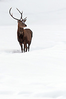 Red deer stag standing in the snow
