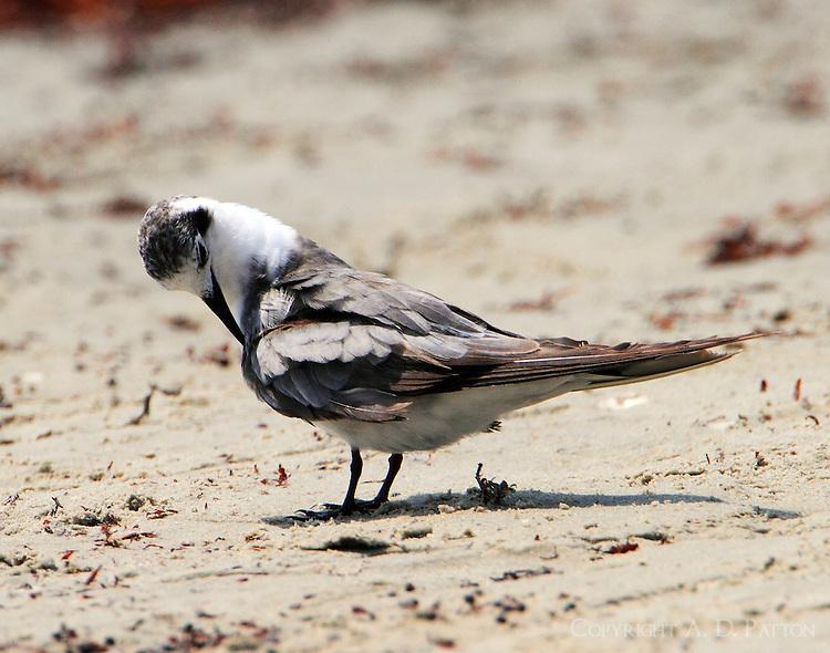 Adult black tern in nonbreeding plumage