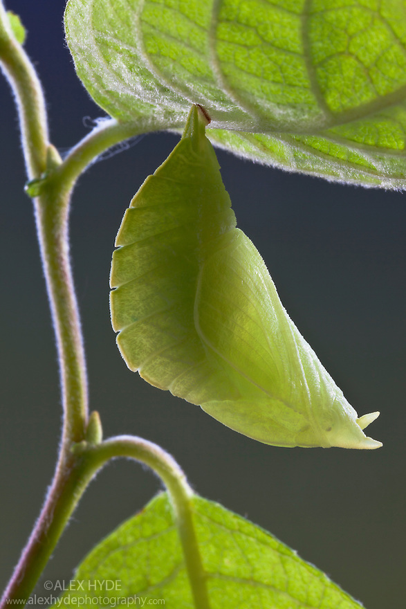 Chrysalis of Purple Emperor butterfly {Apatura iris}, Captive, UK