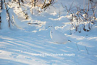 00839-00512 Willow Ptarmigan (Lagopus lagopus) winter plumage, Churchill Wildlife Management Area, Churchill, MB Canada