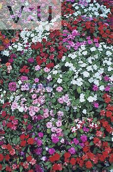 A variety of Impatiens flowers ,Impatiens sultanii,.