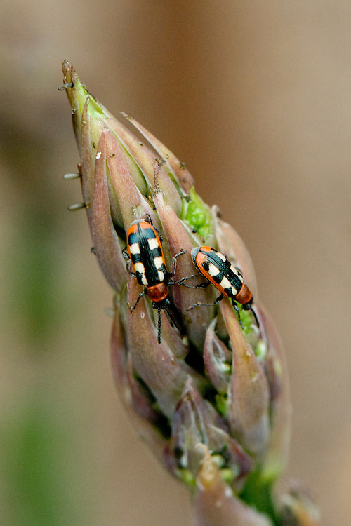 Common asparagus beetles (Crioceris asparagi) feeding on the young spears of asparagus plants, mid-late May.