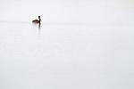 Brown Pelican (Pelecanus occidentalis) juvenile, Elkhorn Slough, Monterey Bay, California