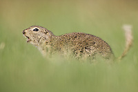Richardson's Ground Squirrel giving a warning signal