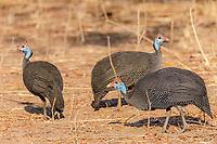 africa, Zambia, South Luangwa National Park, Helmeted guineafowl (Aepyceros melampus)