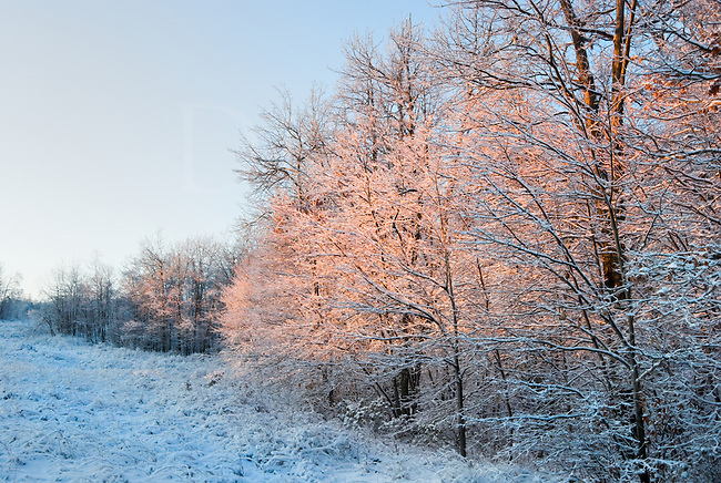 Frozen and iced-over trees after an ice storm showing reflections of pink sunset light.
