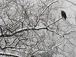 An American bald eagle stoically sits on a branch beside the Connecticut RIver as snow falls in Holyoke on Monday, March on 21, 2011.