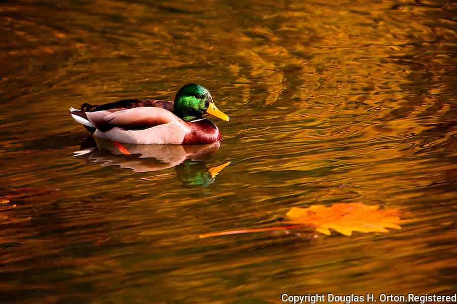 A Mallard Duck hen floats peacefully on Lake Fenwick, King County, Washington amid fall leaves from Big Leaf Maple and reflected fall colors.