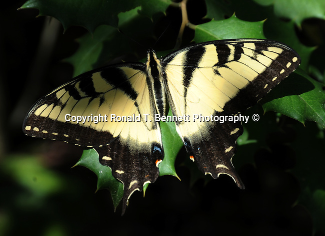 Eastern Tiger swallowtail butterfly, Papilio glaucus, swallowtail butterfly,  Animalia, arthropoda, insecta, lepidoptera, Papilionidae, Papilio, P. glaucus, Papilio glaucus, Monarch butterfly, butterfly, Monarch, Danaus plexippus, Milkweed butterfly, Danainae, Nymphalidae, North American, Viceroy butterfly, Fine Art Photography by Ron Bennett, Fine Art, Fine Art photography, Art Photography, Copyright RonBennettPhotography.com ©