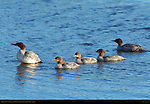 Mergansers, Silver Salmon Creek, Lake Clark National Park, Alaska