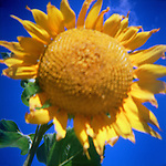 Head and leaves of large sunflower against blue sky