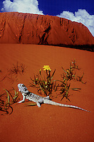 AYERS ROCK WITH SAND DUNE AND BEARDED DRAGON LIZARD