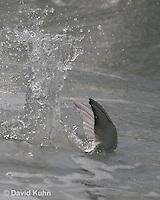 0103-1004  Least Tern in Diving for Fish in Ocean, Sterna antillarum  © David Kuhn/Dwight Kuhn Photography