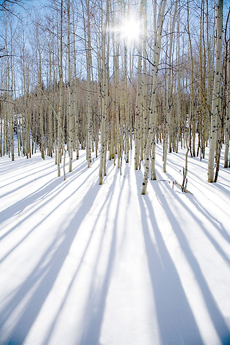Aspens and their shadows during winter at Dixie National Forest in Southern Utah