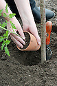 Planting out tomato seedlings.
