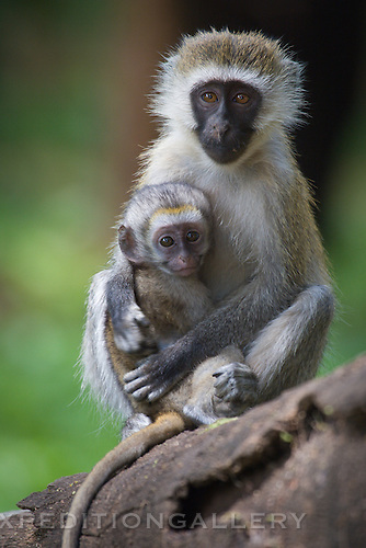Vervet monkey mother with baby in Samburu National Reserve, Kenya.