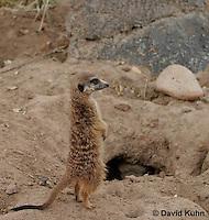 0214-08xx  Standing Meerkat on Lookout, Suricata suricatta © David Kuhn/Dwight Kuhn Photography