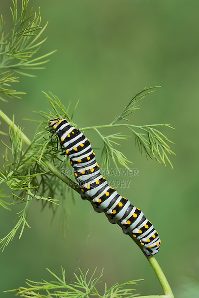 Black Swallowtail (Papilio polyxenes), caterpillar eating on fennel host plant (Foeniculum vulgare), Hill Country, Texas, USA