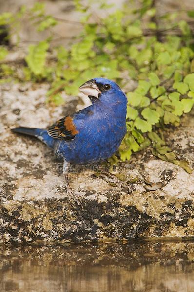 Blue Grosbeak, Guiraca caerulea, male drinking, Uvalde County, Hill Country, Texas, USA, April 2006