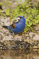 Blue Grosbeak, Guiraca caerulea, male drinking, Uvalde County, Hill Country, Texas, USA, April 2006