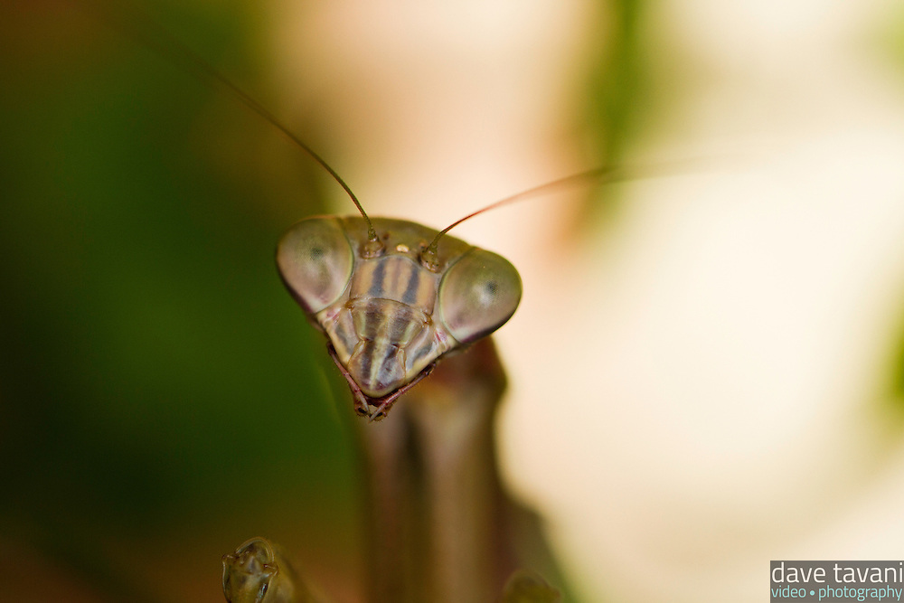 A preying mantis hangs out in our mint plant in the back yard.
