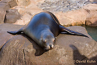 0406-1025  California Sea Lion Sun Bathing and Resting on Rock, Zalophus californianus  © David Kuhn/Dwight Kuhn Photography.