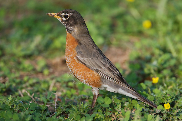 American Robin (Turdus migratorius), adult male,  Sinton, Corpus Christi, Coastal Bend, Texas, USA