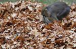 Foto: VidiPhoto<br /> <br /> RHENEN – De mandrils van Ouwehands Dierenpark in Rhenen beleefden donderdag de dag van hun leven. Twee forse hopen herfstbladeren vormden het decor voor intensief speurwerk naar lekkernijen die tussen de bladeren verborgen waren. Zo hadden de dierverzorgers rozijnen, nootjes en andere kleine peuzelarijen in het bladafval verstopt. De dieren waren er tot groot vermaak van de bezoekers uren zoet mee. Het verstoppen van voedsel is een vorm van verrijking om zo het natuurlijk eet- en zoekgedrag te stimuleren.