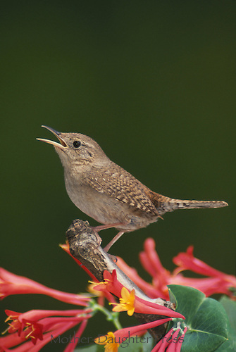 House wren singing on trumpet vine bird flower