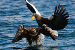 Japan, Hokkaido, Steller's sea eagle and white-tailed eagle fighting over fish in ocean
