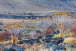 Namibia, Namib-Naukluft National Park, Aloe dichotoma pillansii, giant quiver tree