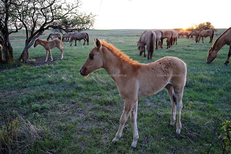 A young foal still has a fuzzy coat and is light colored.  His color will darken as he matures.  He is part of the Gila herd saved by the International Society for the Protection of Mustangs and Burros, the oldest wild horse organization founded in 1960.