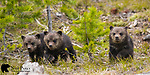 Three young grizzly bear cubs. Yellowstone National Park, Wyoming.