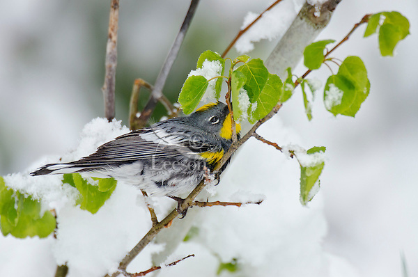 Male Yellow-rumped Warbler or Audubon's Warbler (Dendroica coronata) hunting insects among aspen leaves on snowy day during spring migration, Western U.S., May.