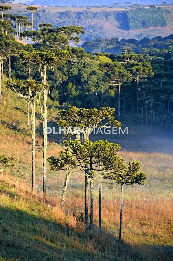Campo naturail e araucárias em São Joaquim. Santa Catarina. 2009. Foto de Zig Koch.