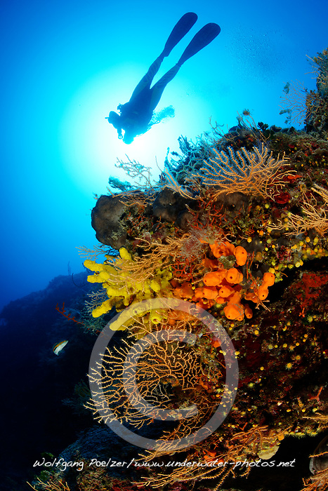 Eunicella cavolini, Axinella verrucosa, Aplysina aerophoba, Orange Gorgonie, Geweihschwamm und Goldschwamm, Korallenriff und Taucher, Yellow sea whip, Orange antler sponge, Coralreef and scuba diver, Adria, Adriatisches Meer, Mittelmeer, Insel Brac, Dalmatien, Kroatien, Adriatic Sea, Mediterranean Sea, Island Brac, Croatia, MR Yes