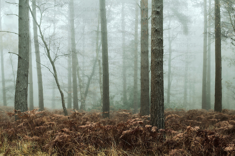Early morning mist in woods at The New Forest, Hampshire, England