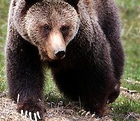 Grizzly bears (Ursus arctos horribilis)claws are naturally white and they grow dark with stain from dirt, blood, etc. with age. This bear is full grown, but young, probably 3 or 4 years old.