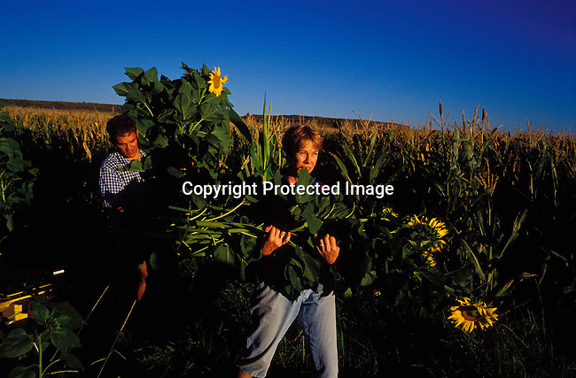 DIPOAFR00017.Culture Afrikaners Hester Boshoff  collecting sunflowers at a farm a day before her traditional Afrikaner weeding on April 22, 2002 in Orania, an all white Afrikaner town in Northern Cape in South Africa. The couple invited the whole village for the wedding. In Orania ,only white people are allowed to work or live. Orania is a community of about 600 people where the residents are trying to to preserve Afrikaner culture and language..Photo: Per-Anders Pettersson/ iAfrika Photos
