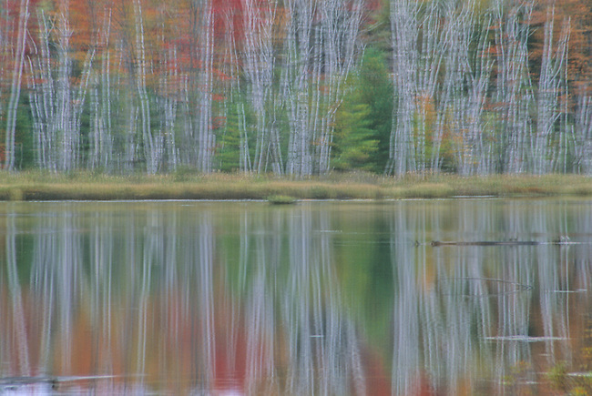 Fall colors and Birch tree trunks abstract, Hiawatha National Forest, Alger County, Michigan