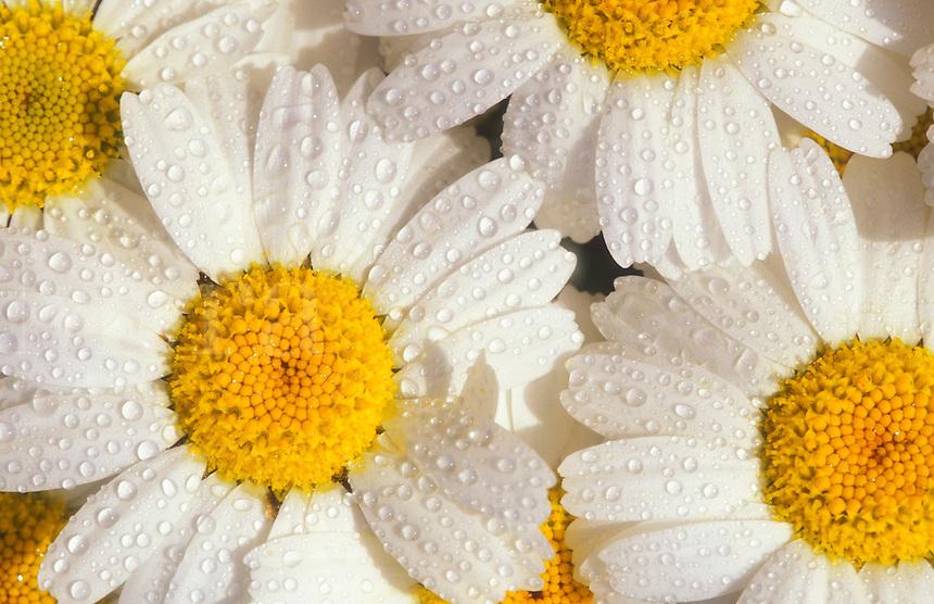 Chrysanthemum bosmariense.  White daisy