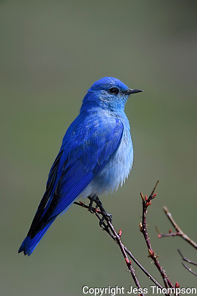 Mountain Bluebird, Yellowstone National Park